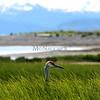 Heron hidden in grasses along the Homer Spit in Alaska